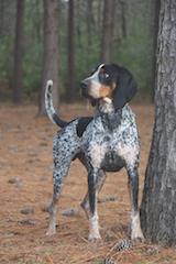 Murphy; Blue Tick Coon Hound