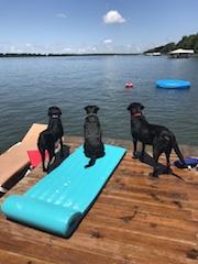 Sadie, Ruby and Luke; Black Labs