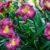 daylily-3