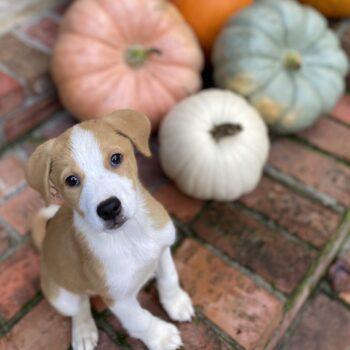 Puppy & pumpkins