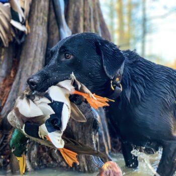 Duck Retriever