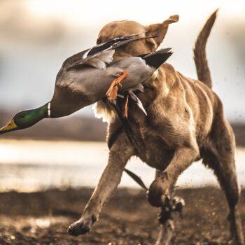 Sheet water duck retrieves in MS Delta