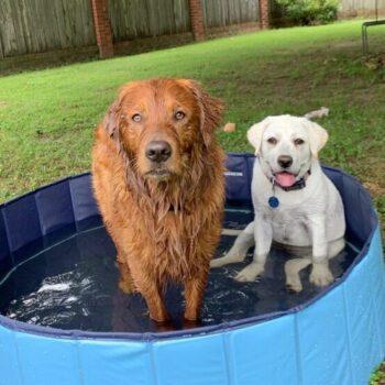 Leo and Roux (Labrador Retriever)