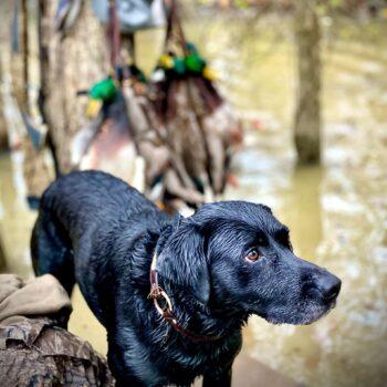 Hunting at Mallard Rest, Tallahatchie County, Mississippi